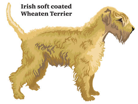 Decorative outline portrait of standing in profile dog Irish soft coated Wheaten Terrier, vector colorful illustration isolated on white background. Image for design.