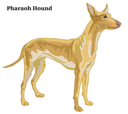 Decorative outline portrait of standing in profile dog Pharaoh Hound, vector colorful illustration isolated on white background. Image for design.