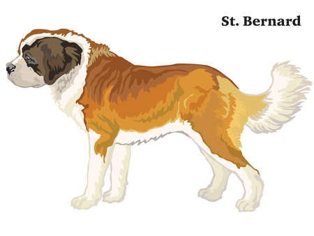 Decorative outline portrait of standing in profile St. Bernard Dog, vector colorful illustration isolated on white background. Image for design. Illustration