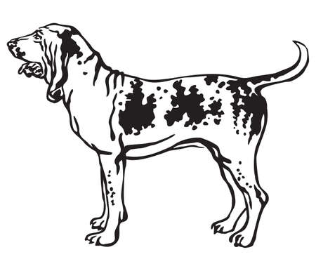 Decorative outline monochrome portrait of standing in profile Bracco Italiano Dog, vector isolated illustration in black color on white background