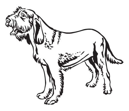 Decorative outline monochrome portrait of standing in profile Spinone Italiano Dog, vector isolated illustration in black color on white background