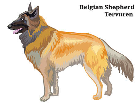 Decorative outline portrait of standing in profile dog Belgian Shepherd Tervuren, vector colorful illustration isolated on white background. Image for design.
