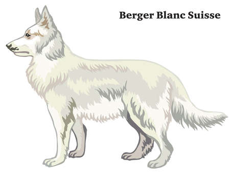 Decorative outline portrait of standing in profile dog Berger Blanc Suisse, vector colorful illustration isolated on white background. Image for design.