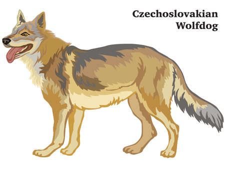 Decorative outline portrait of standing in profile dog Czechoslovakian Wolfdog, vector colorful illustration isolated on white background. Image for design.