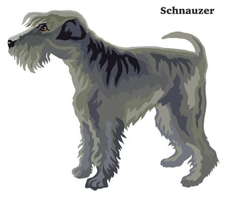 Decorative outline portrait of standing in profile dog  Schnauzer, vector colorful illustration isolated on white background. Image for design.