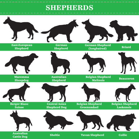 Set of 20 shepherds dogs. Vector set of shepherds breeds dogs standing in profile. Isolated dogs breed silhouettes set in black color on white background. 向量圖像
