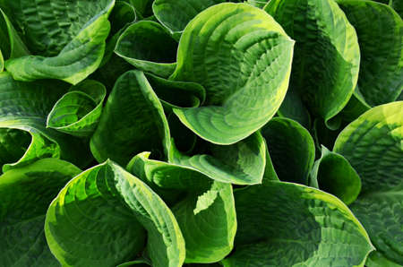 Background with green Hosta blooming leaves in sunny day. Botanic pattern hosta top view growing flowerbed in garden. Stock Photo