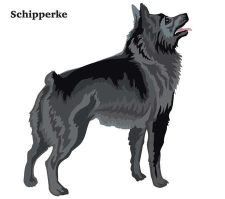 Colorful decorative portrait of standing in profile Schipperke, isolated illustration on white background