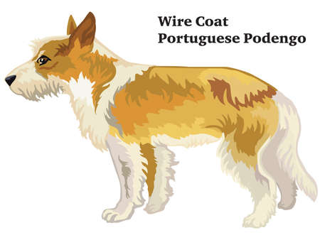 Colorful decorative portrait of standing in profile Wire Coat Portuguese Podengo, isolated illustration on white background Ilustração
