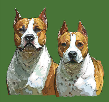 Realistic portrait of Two dogs American Staffordshire Terriers . Colorful vector hand drawing illustration isolated on green background.