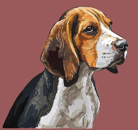 Colorful Beagle vector hand drawing portrait. Isolated vector illustration on maroon background. Vector realistic illustration of beagle dog. Ilustrace