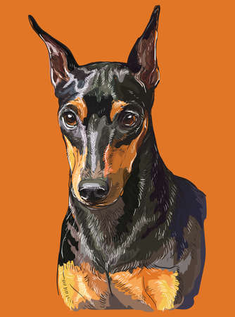 Realistic portrait of dog Miniature Pinscher. Colorful vector hand drawing illustration isolated on orange background. Ilustrace