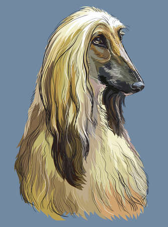 Colorful Afghan Hound vector hand drawing portrait. Isolated vector illustration on blue background. Vector realistic illustration.