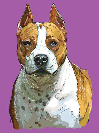 Realistic portrait of dog American Staffordshire Terrier. Colorful vector hand drawing illustration isolated on purple background.