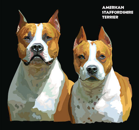 Colored portrait of two American Staffordshire Terriers (Pitbull) isolated vector realistic illustration on black background Ilustrace
