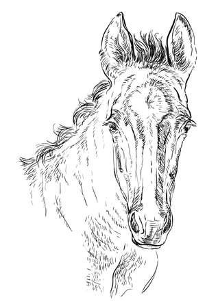 Cute pony foal portrait. Young pony head in black color isolated on white background. Vector hand drawing illustration. Retro style portrait of pony. Illustration