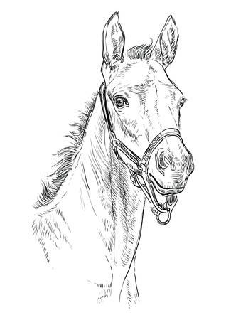 Portrait de poulain avec licou. Tête de cheval de couleur noire isolée sur fond blanc. Illustration de dessin de main de vecteur. Portrait de poulain de style rétro.