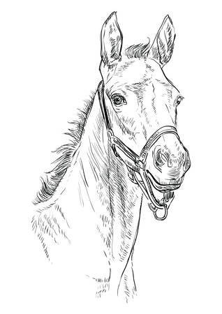 Foal portrait with halter. Horse head in black color isolated on white background. Vector hand drawing illustration. Retro style portrait of foal.