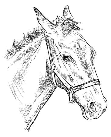 Foal portrait with halter. Young horse head in profile black color isolated on white background. Vector hand drawing illustration. Retro style portrait of horse.