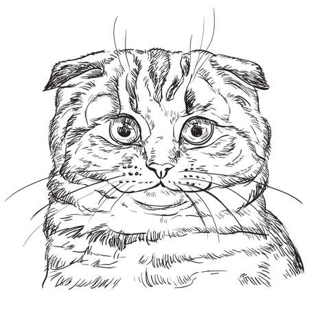 Vector hand drawing portrait of scottish fold cat in black color isolated on white background. Monochrome realistic portrait of cat. Vector illustration of fluffy cat. Image for design, cards.