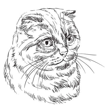 Vector hand drawing portrait of scottish fold cat in black color isolated on white background. Monochrome realistic portrait of scottish cat. Vector illustration of fluffy cat. Image for design, cards.