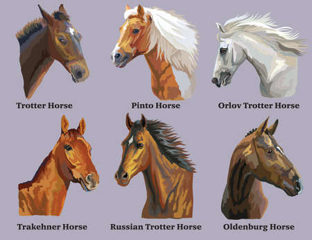 Set of realistic portraits of horses breeds (Russian Trotter Horse; Welsh Pony; Oldenburg horse; Pinto Horse; Orlov Trotter horse) isolated on purple background. Vector colorful illustration. Illustration