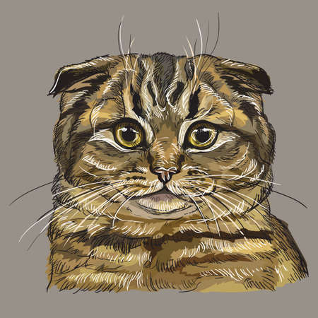 Colorful vector hand drawing portrait of scottish fold cat isolated on grey background. Colorful realistic portrait of cat. Vector illustration of fluffy cat. Image for design, cards. Stock illustration.