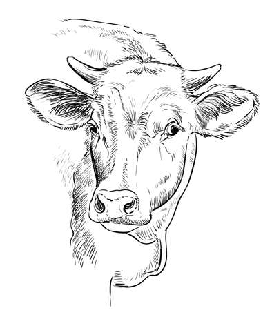 Cow head sketch hand drawn vector illustration in black color isolated on white background. Vintage illustration of bull for label, poster, print and design. Archivio Fotografico - 154835609
