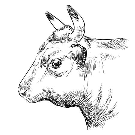 Monochrome cow head in profile sketch hand drawn vector illustration isolated on white background. Vintage illustration of bull for label, poster, print and design.