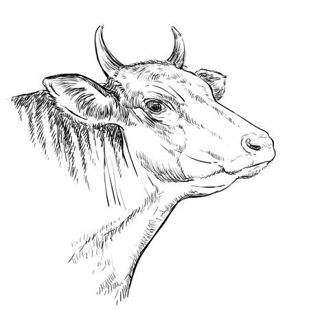 Cow head. Hand drawn sketch in a graphic style. Vintage engraving illustration of bull for poster, web, label, poster, print and design. Archivio Fotografico - 154835641