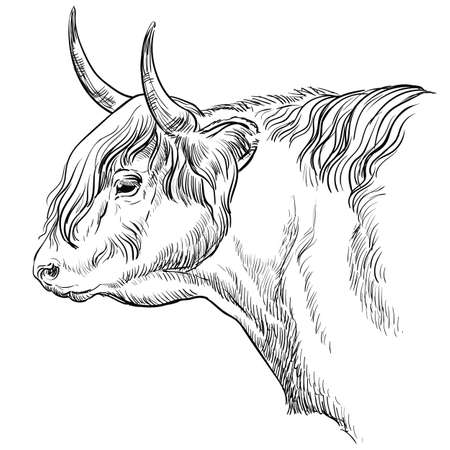 Monochrome bull head sketch hand drawn vector illustration isolated on white background. Vintage illustration of Highland cattle for label, poster, print and design.