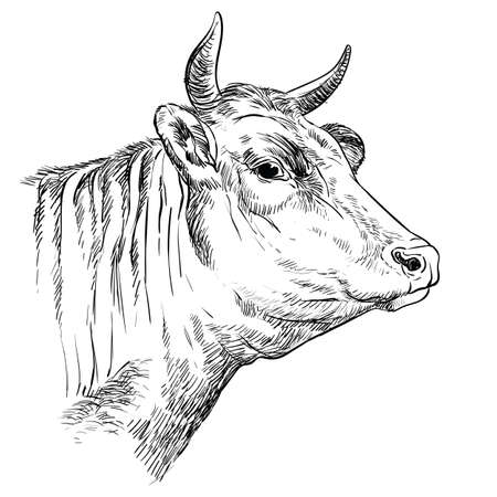 Monochrome cow head sketch hand drawn vector illustration isolated on white background. Vintage illustration of bull for label, poster, print and design.