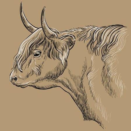 Head of Highland cattle  illustration