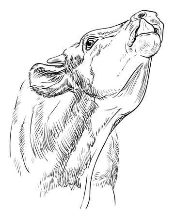 Head of  bull engraving illustration