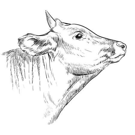 Head of horned bull hand drawing illustration