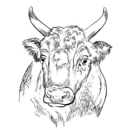 Head of strong bull hand drawing illustration