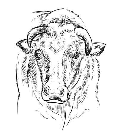 Head of  bull  illustration Vettoriali