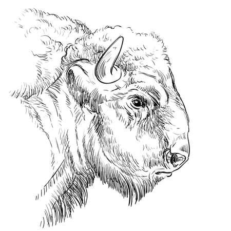 Head of brutal bison hand drawing illustration Vettoriali