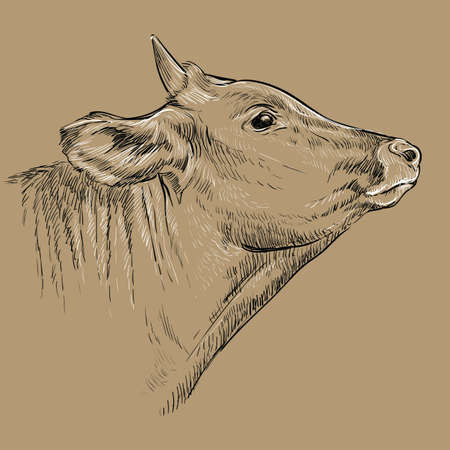 Monochrome kind cow head looking in profile sketch hand drawn vector illustration isolated on brown background. Bull vintage illustration for label, poster, print and design. 矢量图像