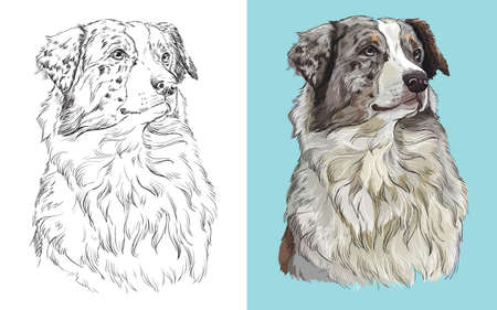 Realistic head of american Australian shepherd. Vector black and white and colorful isolated illustration of dog. Ilustração