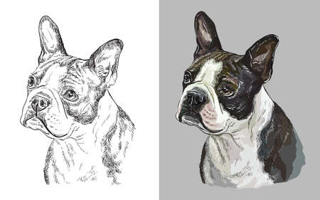 Realistic head of american Boston terrier. Vector black and white and colorful isolated illustration of dog.
