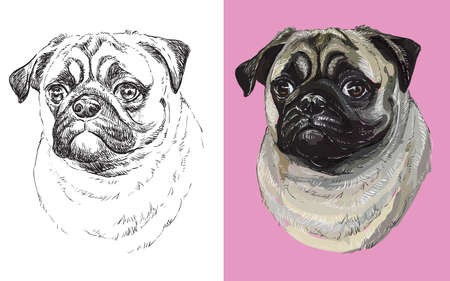 Realistic head of pug dog. Vector black and white and colorful isolated illustration of dog.