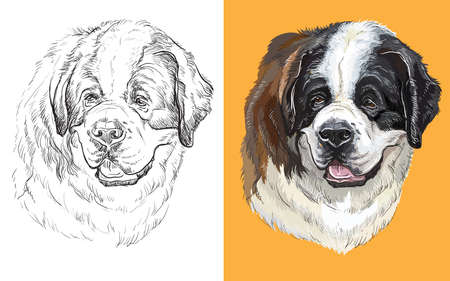 Realistic head of St. Bernard dog. Vector black and white and colorful isolated illustration of dog.