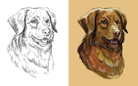 Realistic head of Nova Scotia Duck Tolling Retriever dog. Vector black and white and colorful isolated illustration of dog.
