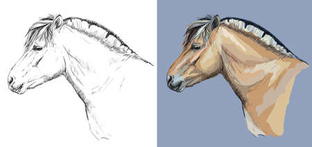 Realistic head of Norwegian fjord pony. Vector black and white and colorful isolated illustration of horse.