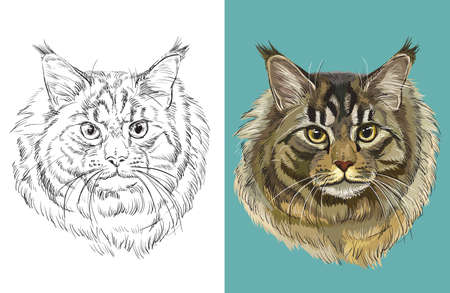 Vector illustration portrait of Maine coon cat
