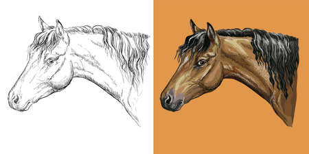 Vector illustration portrait of belgian pony colorful and monochrome 일러스트