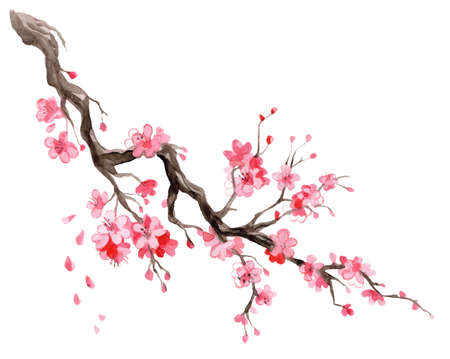 Watercolor illustration sakura. Hand drawn Japanese cherry blossom branch with flowers isolated on white background. For design sushi restaurant menu, cards, print, design, wallpaper, kitchen towel.