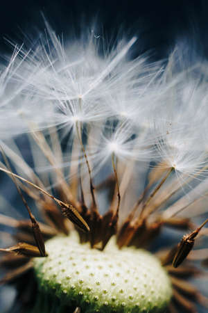 macro photo of white dandelion fluffs