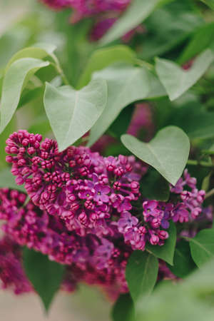 lilac flowers with green leaves close up